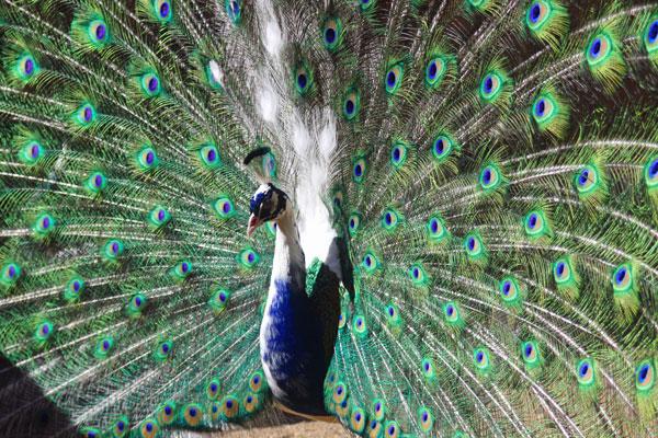 Pavoni la corte con le galline - Pagina colorazione pavone ...