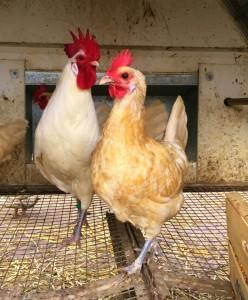 Famiglia polli Romagnoli colorazione crema