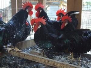 Pollo Ancona
